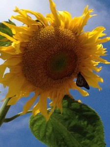 Sunflower - SG